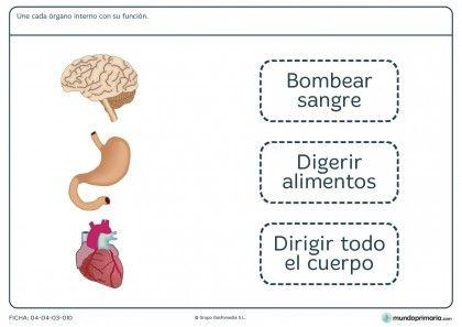 Ficha de funciones de los órganos para primaria