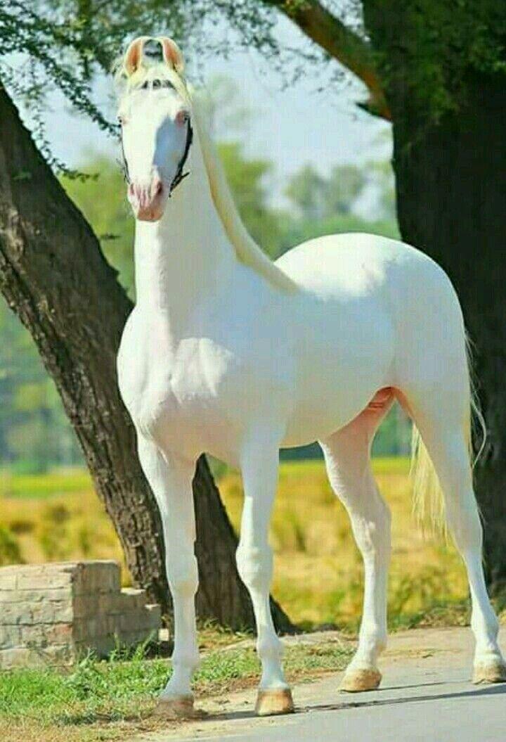 Perlweißer Marwari
