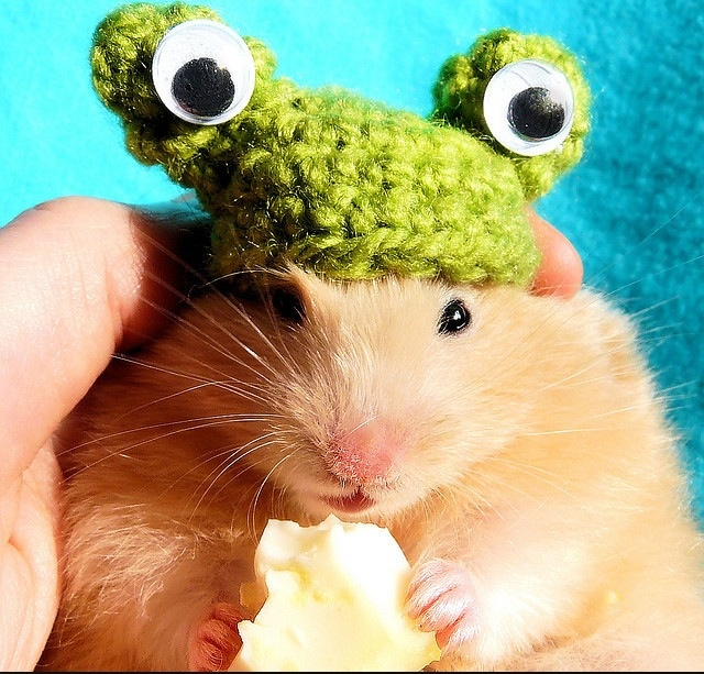 """I hate you but you gave me chesse so im going to stare at you with out moving my eyes till the chesse is gone then the hat will be distroyd because this is sacrilege agecnct hamsters and your finger is next because I bet it still has chesse resido on it and lieing to yourself makes you extra hungry"""