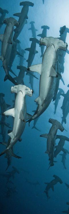 tubarão martelo                                                                                                                                                      Mais