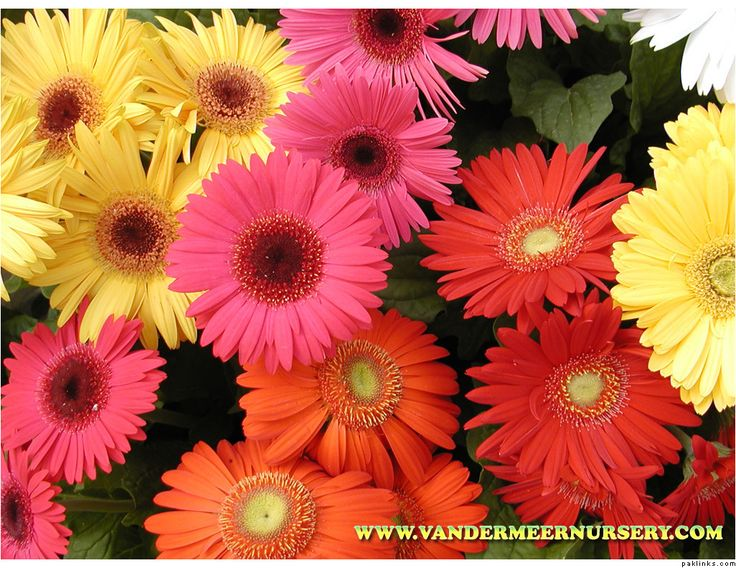 Beautiful Gerber Daisies And Types Of Flowers On Pinterest