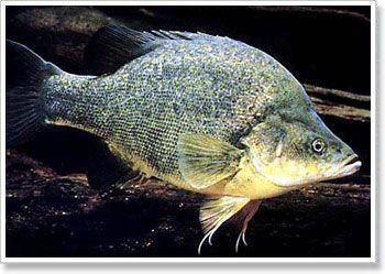 River Murray golden-perch