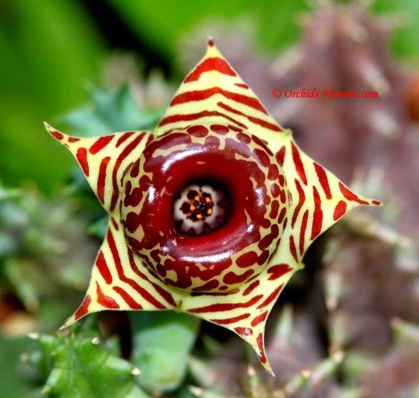 Drawing Of Exotic Tropical Flowers Orchids Com Image Huernia Zebrina Flower Photographer Kitisak