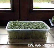 Groenten telen op de vensterbank tuinkers en spruitgroenten in bakjes kiemen aan het venster