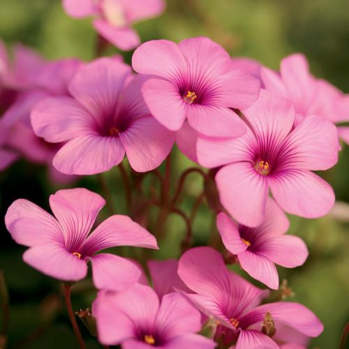 best my shade garden images on, Natural flower