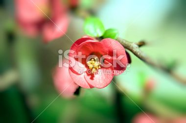 Blossom Royalty Free Stock Photo