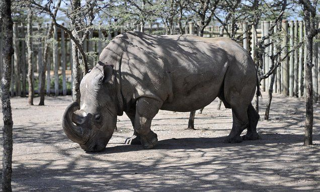 There's just one male northern white rhino left in the world, and he's now on the Tinder dating app as wildlife experts try to keep his species alive. The rhino, named Sudan' will appear as you swipe.