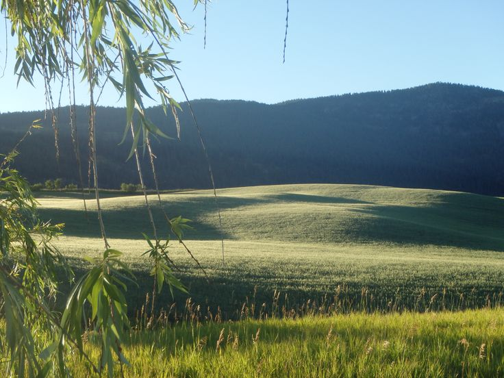 Beautiful Lighting on a field of wheat or barley, near Otter Lake, Armstrong, BC