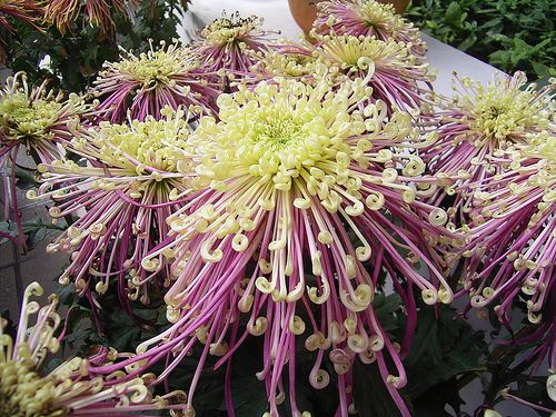 Chrysanthemum Flower Pictures - White, Red Chrysanthemum Flowers