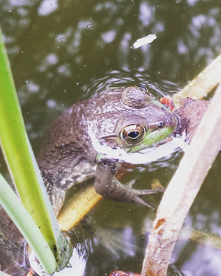 A frog seen in a pond by our viewer Hannah.