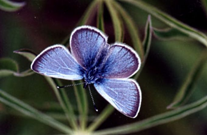 The silvery meadow blue butterfly (Polyommatus florience) has been spotted in Pakistan, Afghanistan and more recently in Himachal Pradesh, India. The species are believed to make meadows and clearings its habitat.: Blue Butterflies, Rare Animal, Rarest Butterflies, Tops 10, Butterflies Polyommatus, 10 Rarest, Butterflies Species, Silveri Blue, Meadow Blue
