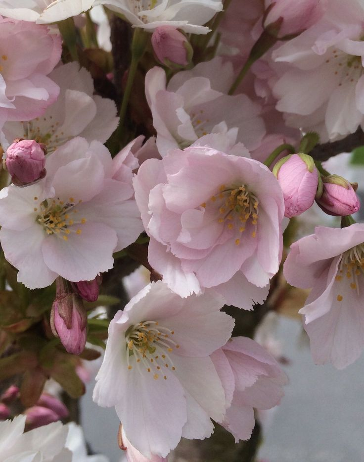Cherryflowers by Kaia Huus - Photo 128450969 - 500px