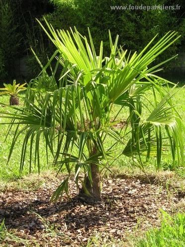 Trachycarpus fortunei   Palmier chanvre   Palmier de Chusan   Chamaerops excelsa   La Palmeraie fr