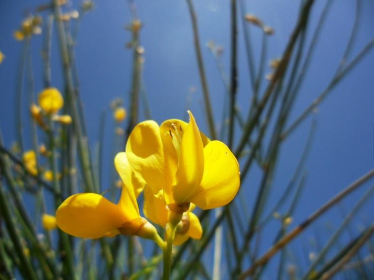 Broom (Cytisus scoparius) #flowers #photography #nature
