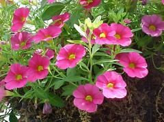 Calibrachoa (group) - Comes in lots of different colors