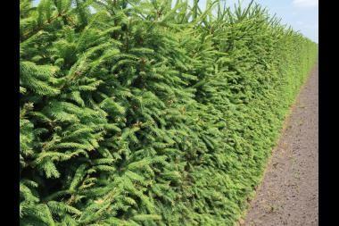 """Gemeine Fichte   Die Gemeine Fichte oder Rottanne, Picea abies, oft auch einfach als """"Weihnachtsbaum"""" bezeichnet, hat eine schmale pyramidenförmige Krone, eine graue Rinde, rotbraune Zweige und dunkelgrüne 1,5 bis 2,5 cm lange Nadeln."""