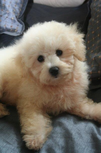 Toy Poodle X Bischon Frise Puppy... LOVE