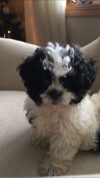 Zuchon puppy for sale in SPRING GREEN, WI. ADN-58028 on PuppyFinder.com Gender: Female. Age: 9 Weeks Old