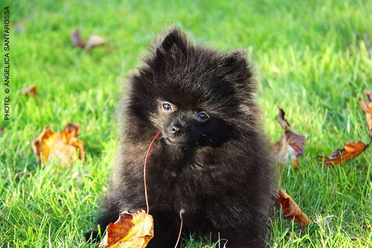 3 months Black Pomeranian Puppy - Black German Spitz - Kleinspitz  ...Autumn in the garden...