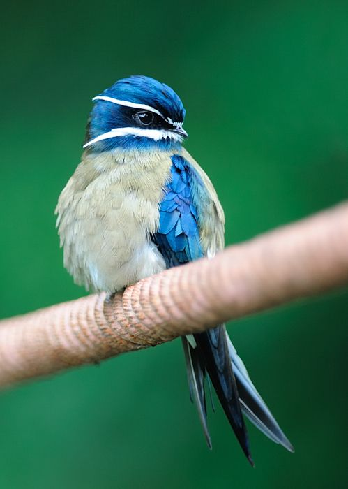 Whiskered Treeswift (Hemiprocne comata) Female on the rope of the canopy walkway in the Danum Valley