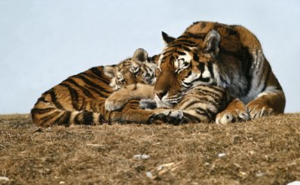 Tell Congress that big cats should NOT be private pets for citizens!