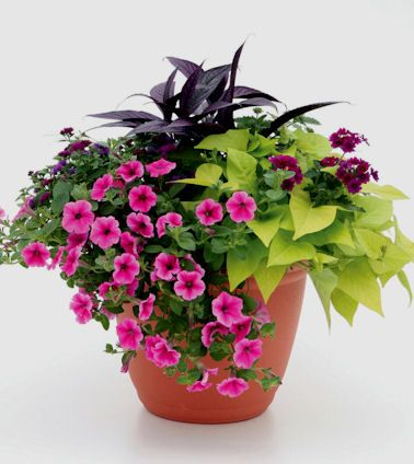 Persian shield, burgundy verbena, lime sweet potato, pink striped petunia