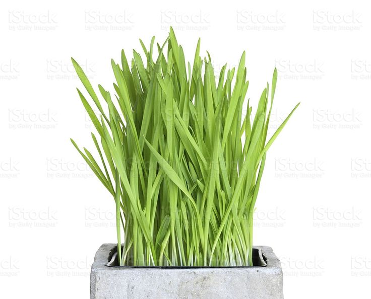 Fresh wheatgrass in square pot royalty-free stock photo