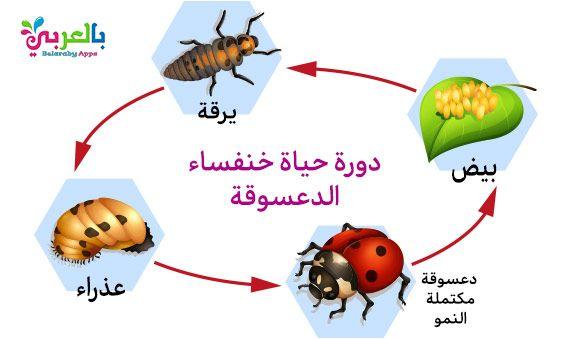 رسم دورة حياة الحيوانات للاطفال مراحل نمو الحيوان بالصور بالعربي نتعلم Eid Gifts Christmas Ornaments Novelty Christmas