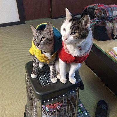 りゅう・虎太郎(草津温泉 中村屋旅館<群馬県>)全国の宿・ホテルの看板猫