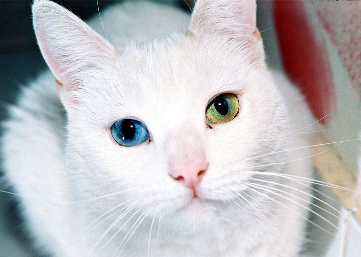 Best In The Eyes Of A Turkish Van Cat Images On Pinterest - This is pam pam the kitten with heterochromia with hypnotic eyes you just cant stop looking at