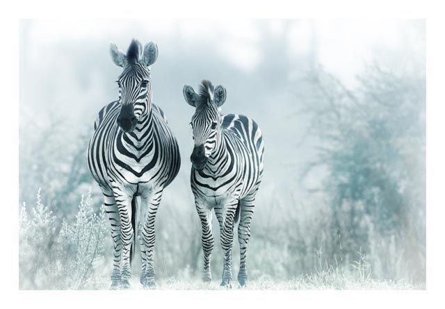 Zebra in mist print