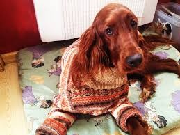 irish setter sweater - Szukaj w Google