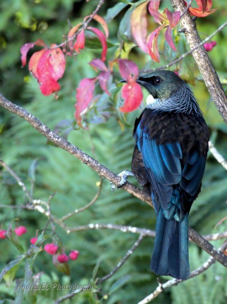 Beautiful Native Tui Pukerau Southland New Zealand - AndreaEL Photography - www.photographer.org.nz