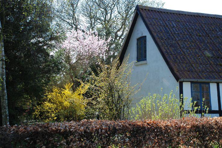 På Fejø kan man spotte mange mandeltræer i haverne. Her er et stort et, bag et hus i Sletterne.