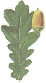 beige à noir  Si les feuilles du chêne donnent un beige assez sale, l'écorce est une des sources végétales les plus connues pour le tanin et donnent donc de belles couleurs tannées qui virent vers un noir bleuté corbeau en présence de sels de fer.
