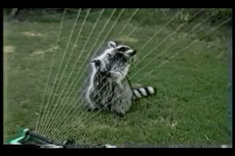 New party member! Tags: raccoon afv funny videos free funny #afv