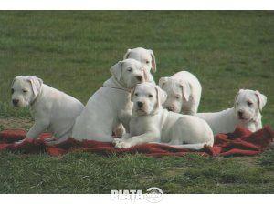Animale de companie, Vanzari, cumparari, Vand catei Dog Argentinian, imaginea 1 din 1