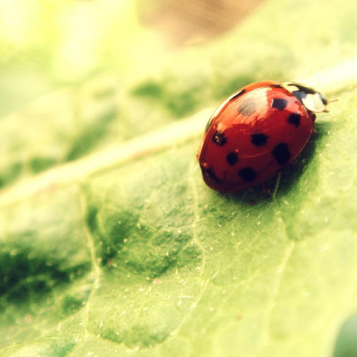 Ladybug. Ladybug on a green leaf wallpaper