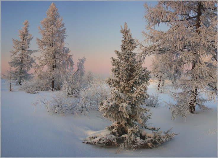 This winter postcard was made in late November. Snow is everywhere, it shrouded the trees in white coats.  Tags: snow, trees, evening, snowdrift, frost
