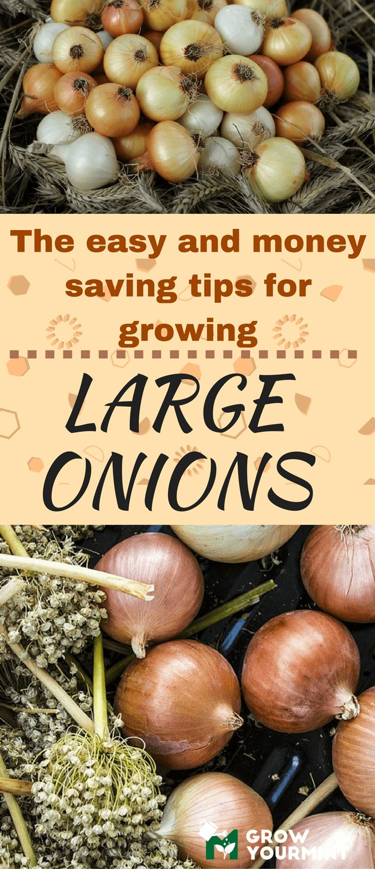 Easy and money saving tips on how to grow large onions  #gardens#organic#onion#growyourmint.com