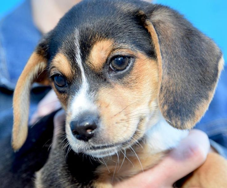 Oriole! is an adoptable Beagle searching for a forever family near New York, NY. Use Petfinder to find adoptable pets in your area.