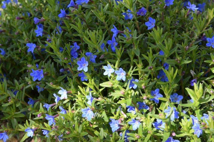 Heavenly bleu