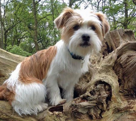Bo the Jack Russell Mix -- Dog Breed: Shih Tzu / Jack Russell Terrier
