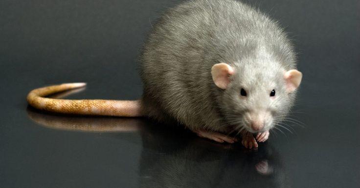 Como lidar com ratos em seu local de trabalho. Ratos e camundongos são criaturas que causam problemas muito desagradáveis. Eles podem ser encontrados em quase qualquer casa ou local de trabalho. Comem fios, fazem buracos nas paredes e mexem nos lixos atrás de comida. Lidar com eles pode ser um processo difícil, mas há muitas maneiras de se livrar e impedir que esses roedores entrem em seu ...