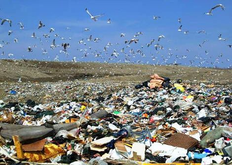 Seagulls looking for food waste at a landfill site