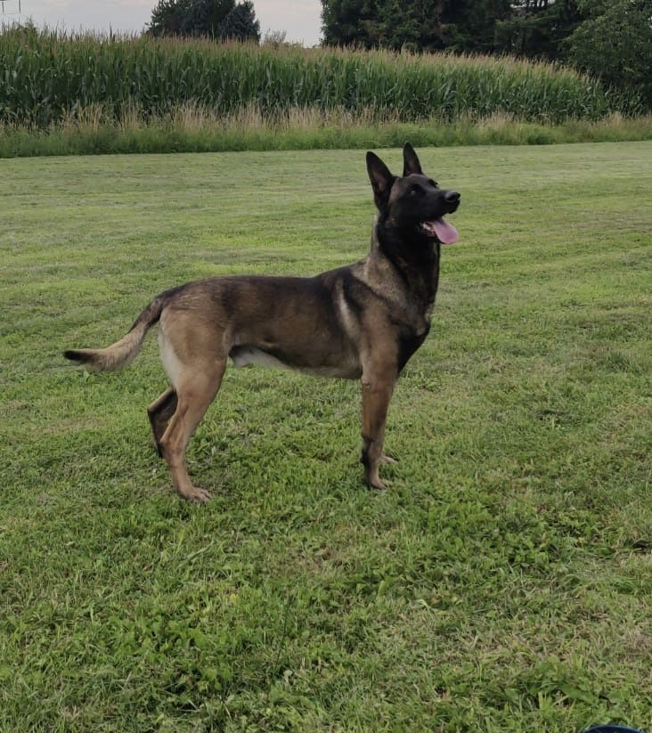 K9 Willie Male Malinois Protection Dog In 2020 Family Protection Dogs Dogs For Sale Guard Dogs For Sale