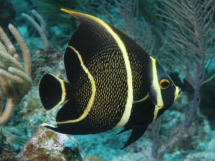 Peixe-frade. Encontrado nas águas do Atlântico Ocidental, bem como no Golfo do México, o Peixe-frade precisa principalmente de esponjas marinhas, e sua carne é considerada uma iguaria.