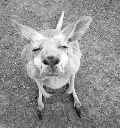 so adorable!Kangaroos Kisses, Funny Face, The Face, Pucker Up, A Kisses, Creatures, Baby Animal, Smile, Animal Photos