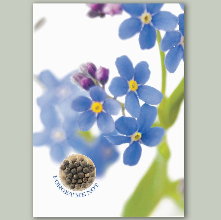 how to grow chinese forget me nots from seed
