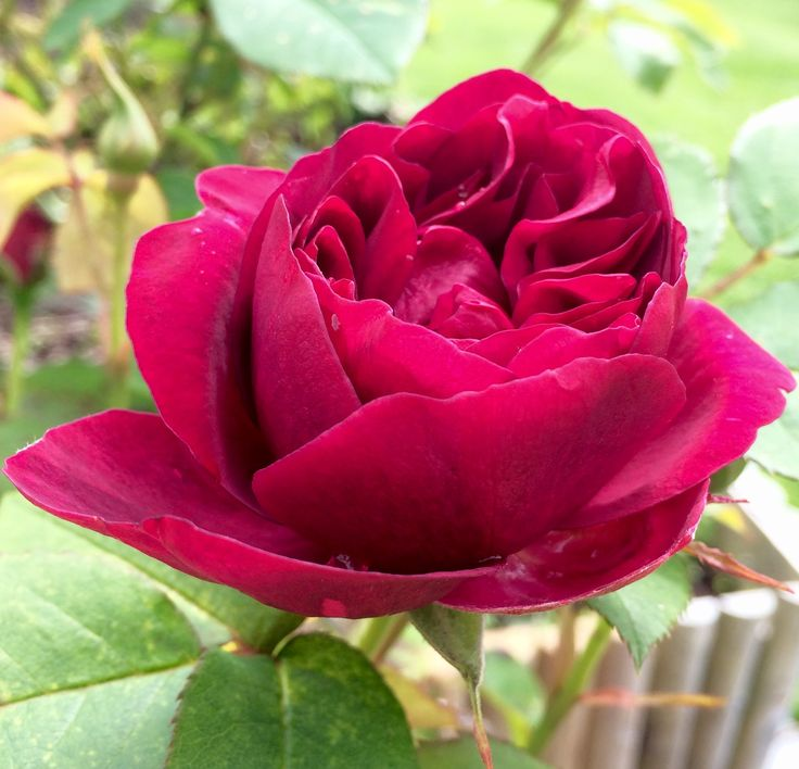 Английская роза в саду🌹